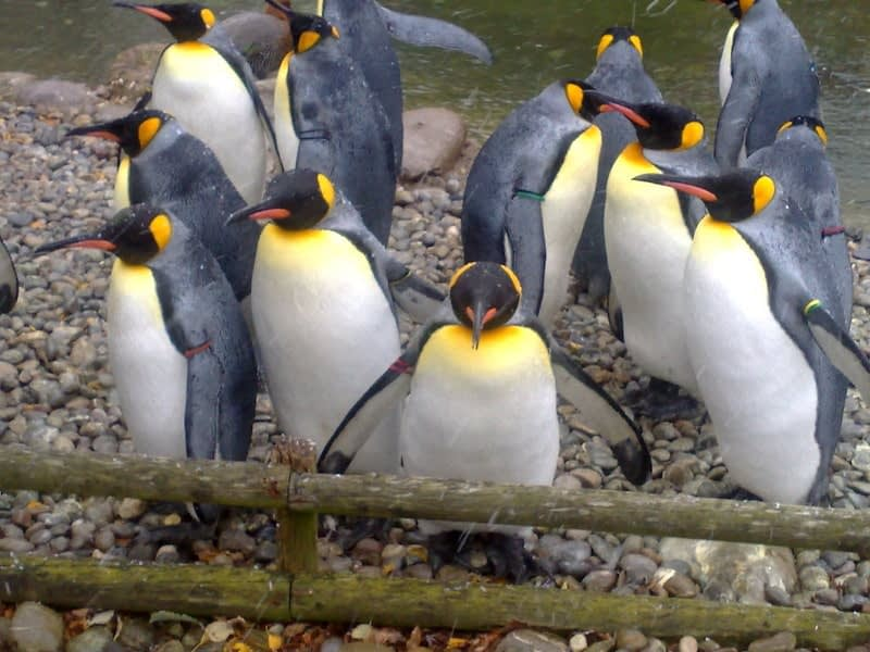 Penguin Parade event at the Zoo in Zurich